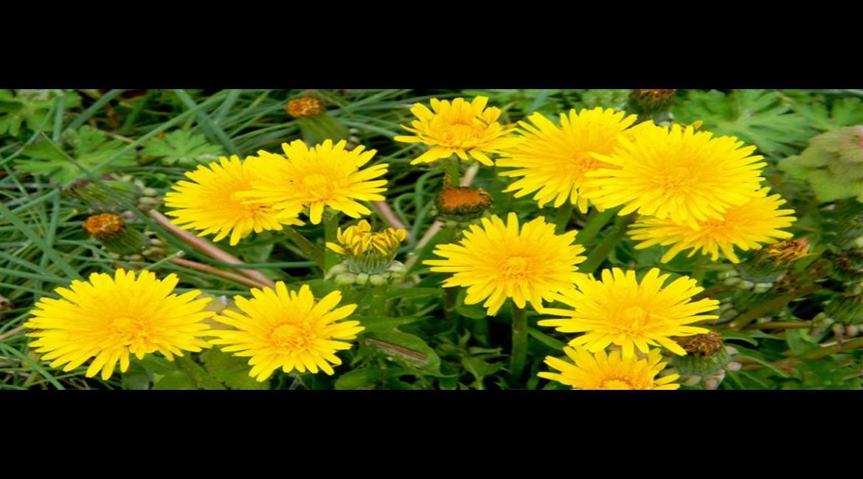 DIÉTÉTIQUE : Les plantes comestibles des bords de chemins